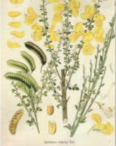 Illustration of the broom plant, flower, leaf, seed pod.