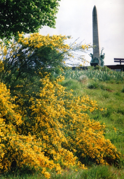 Yellow flowered bush on hillside, with war memorial obelisk behind.