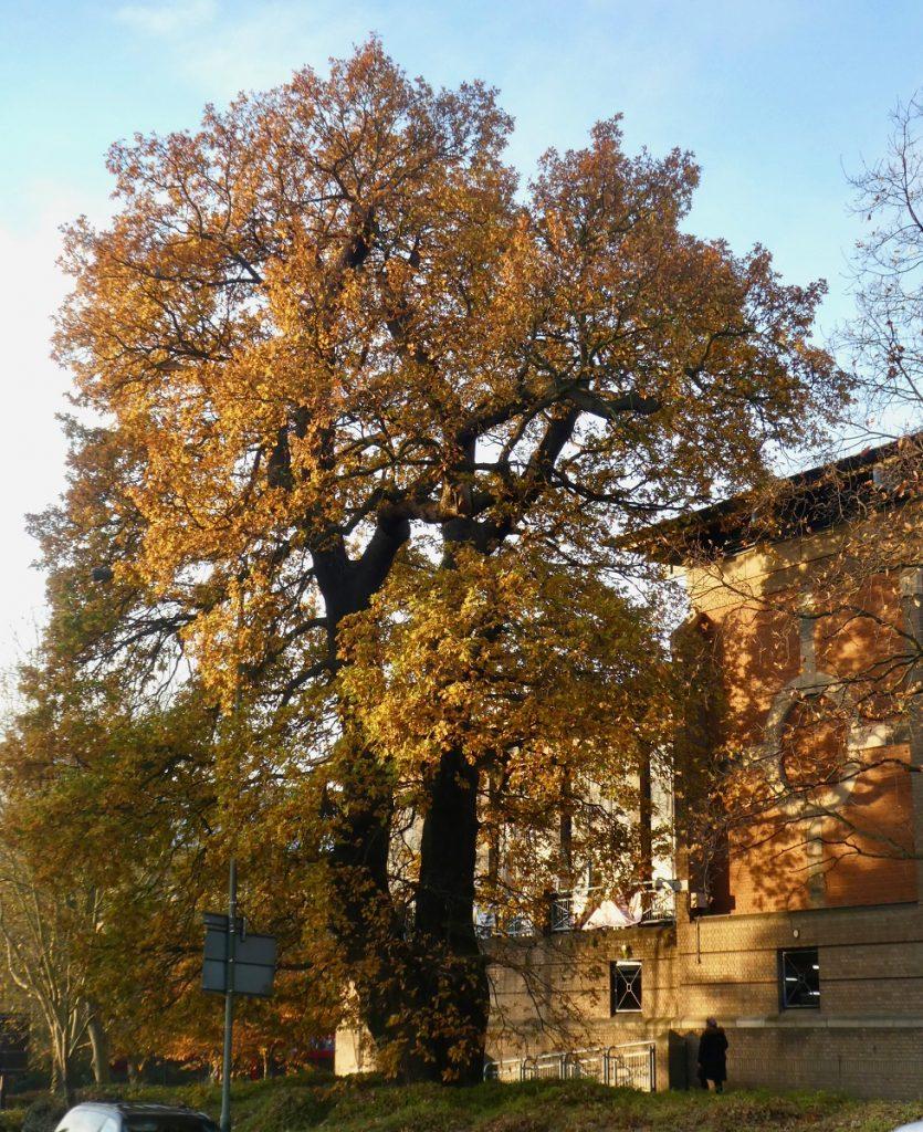 golden leaved oak tree
