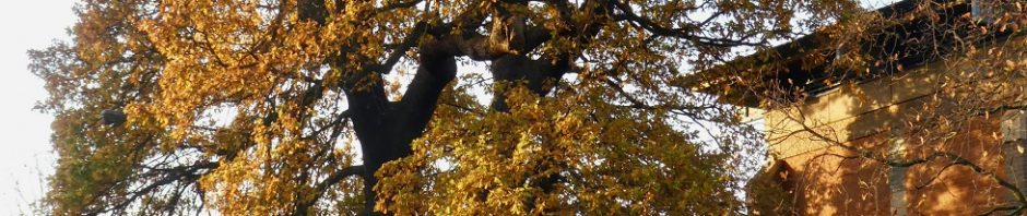 golden leaved oak tree
