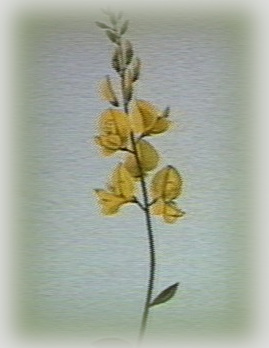 broom stem